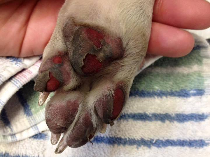 Why dog owners should avoid pavement & fake grass on hot days